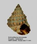 Echinolittorina lemniscata