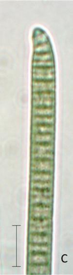 Phormidium uncinatum