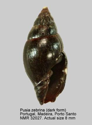 Vexillum zebrinum