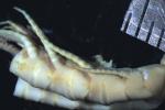 Isometra hordea John, 1938, COTYPES BMNH 1938.12.7.163-165