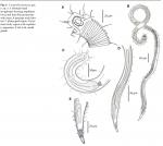 Cornurella fonsecae