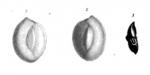 Quinqueloculina peregrina d'Orbigny, 1846