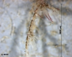 cf. Vesicularia spinosa (Linnaeus, 1767)