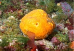 Halichondria sp., 50-110 m Flower Garden Banks, Gulf of Mexico.  Photograph courtesy of NOAA-FGBNMS/UNCW-UVP. Identifications by C. Savarese and K. Ruetzler. For more information see: http://flowergarden.noaa.gov/document_library/scidocs/spongeposter.pdf