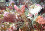 Topsentia bahamensis, 50-110 m Flower Garden Banks, Gulf of Mexico.
