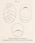 Textularia oviformis d'Orbigny in Fornasini, 1887