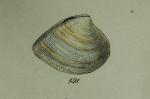 Cytheraea tellinoidea G.B. Sowerby II, 1851, original figure  pl. 136 fig. 191 in Thesaurus conchyliorum