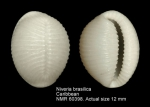 Niveria brasilica