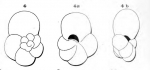 Globigerina fragilis d'Orbigny, 1852
