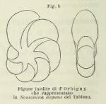 Nonionina elegans d'Orbigny in Fornasini, 1899