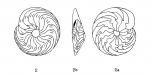 Amphistegina bilobata d'Orbigny in Fornasini, 1903