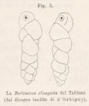 Bulimina elongata d'Orbigny, 1846