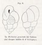 Bulimina punctata d'Orbigny in Fornasini, 1902