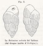 Bulimina sulcata d'Orbigny in Fornasini, 1902