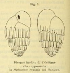 Bulimina costata d'Orbigny, 1852