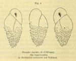 Bulimina echinata d'Orbigny, 1852