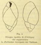 Bulimina laevigata d'Orbigny in Fornasini, 1901