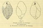Bulimina semistriata d'Orbigny, 1852