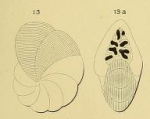 Dendritina rangi d'Orbigny in Fornasini, 1904