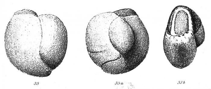 Pentellina strigillata (d'Orbigny, 1850)
