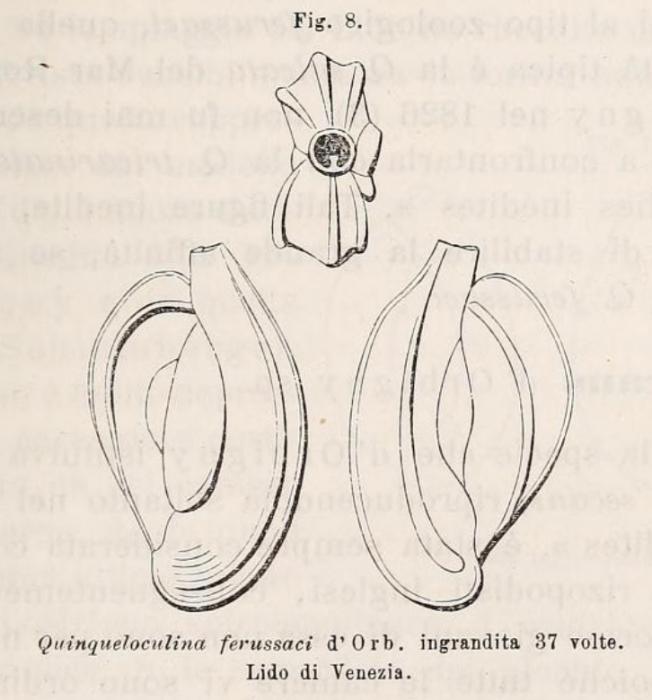 Quinqueloculina ferussaci d'Orbigny in Deshayes, 1832