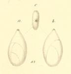 Polymorphina amygdaloides Reuss, 1856