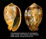 Cypraecassis testiculus