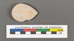 Cristellaria cassis (Fichtel & Moll, 1798)
