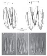 Haplopharynx papii
