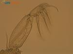 Caligus elongatus von Nordmann, 1832