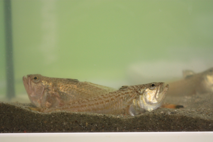 Lesser weever (Echiichthys vipera)