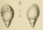 Ringicula pulchella Morlet, 1880  Original figure in Morlet (1880) pl. 5 fig. 6