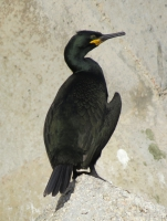 Phalacrocorax aristotelis desmarestii