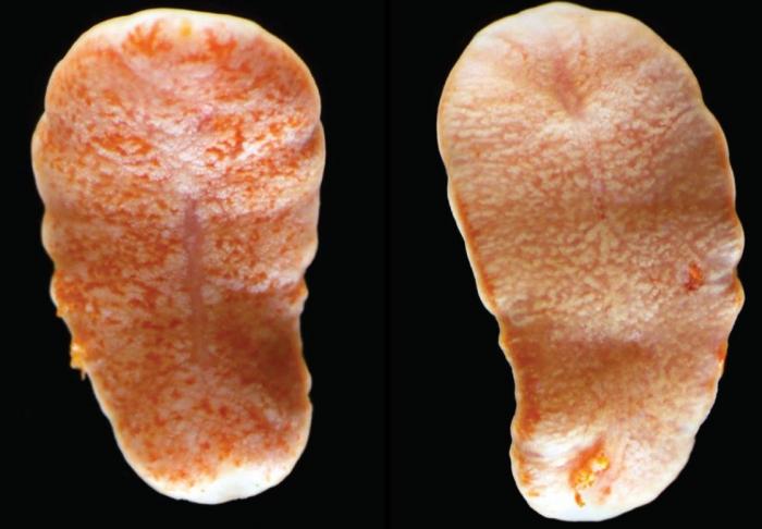 Protomyzostomum lingua Summers & Rouse, 2014