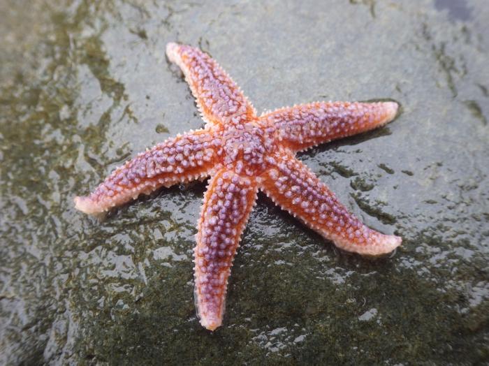 Seastar (Asterias rubens)