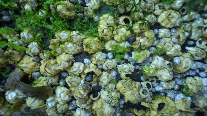 Barnacles (Semibalanus balanoides)