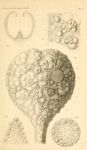 Haliphysema globigerina Haeckel, 1877
