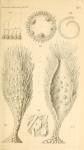 Haliphysema primordiale Haeckel, 1877
