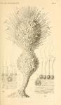 Gastrophysema dithalamium Haeckel, 1877