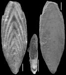 Mucronina monacantha (Reuss, 1850) Identified specimen