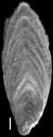 Plectofrondicularia virginiana Cushman & Cederstrom, 1949 Holotype