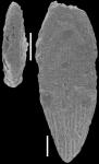Mucronina striata (d'Orbigny, 1826) Identified specimen