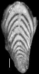 Plectofrondicularia packardi var. multilineata Cushman & Simonson, 1944
