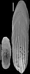 Parafrondicularia antonina (Karrer, 1878) Identified specimen