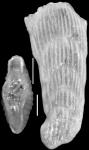 Plectofrondicularia whitei (Martin, 1943)