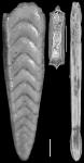 Plectofrondicularia floridana CCushman, 1930 Holotype
