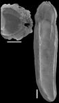 Plectofrondicularia turgida Hornibrook, 1961 Topotype
