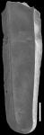 Plectofrondicularia turgida Hornibrook, 1961