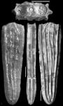 Plectofrondicularia totomoiensis Makiyama, 1931 Paratype