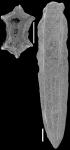 Plectofrondicularia parri Finlay, 1939 Topotype